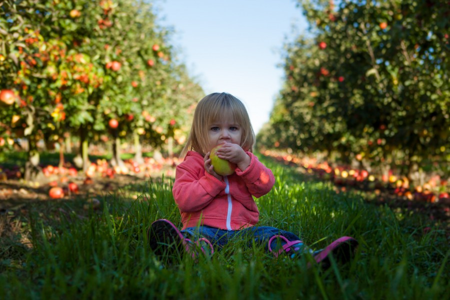 Toddler in an Apple Orchard